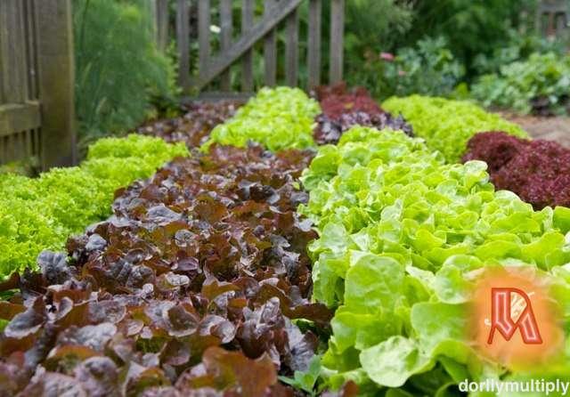 Garden Salads (organic or none organic)